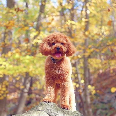 Nguyên tắc huấn luyện chó nghe lời chủ
