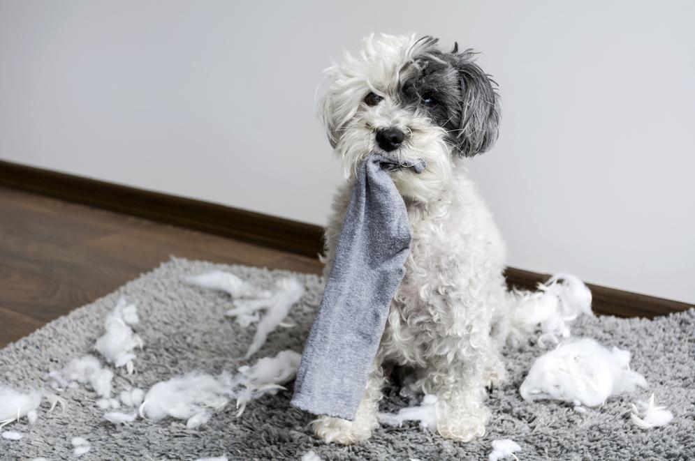 cách huấn luyện chó hạn chế cắn phá