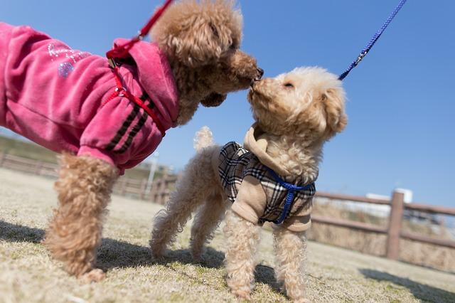 Dắc cún bằng dây xích chó
