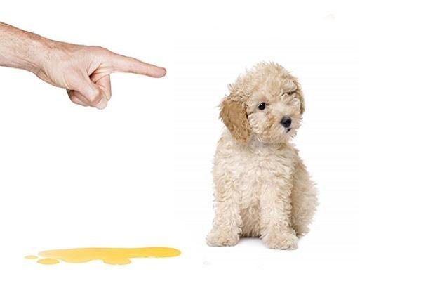 cách trị chó đi bậy trong nhà