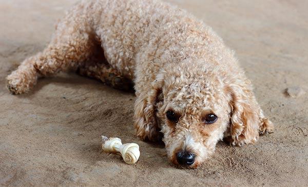 Cần tìm hiểu kỹ những nguyên nhân khiến cún ăn đồ bẩn