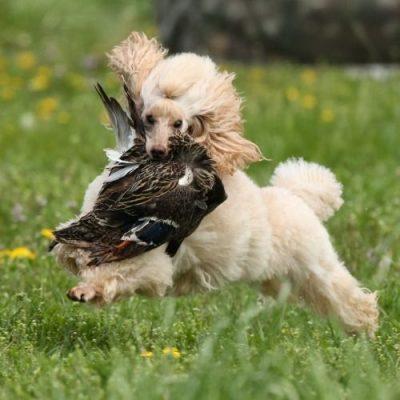 thú cưng ăn bẩn là một thói quen không tốt