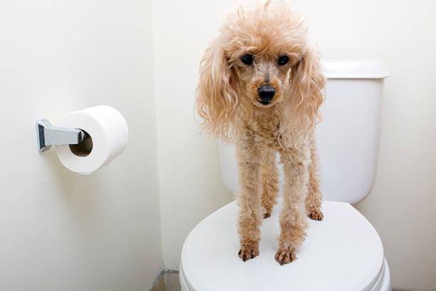 dạy chó đi vệ sinh trong nhà
