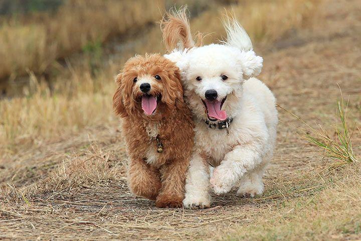 tạo cho Poodle thói quen kết bạn với chó khác