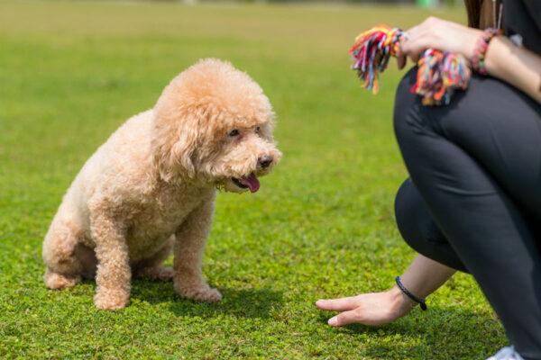 nguyên tắc huấn luyện chó bảo vệ chủ