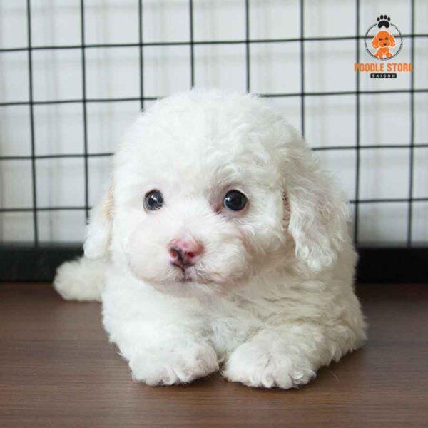 Poodle màu trắng
