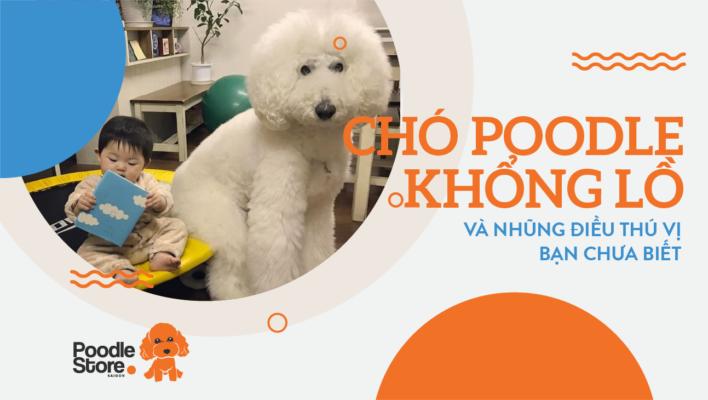 Chó Poodle khổng lồ và những điều thú vị bạn chưa biết.