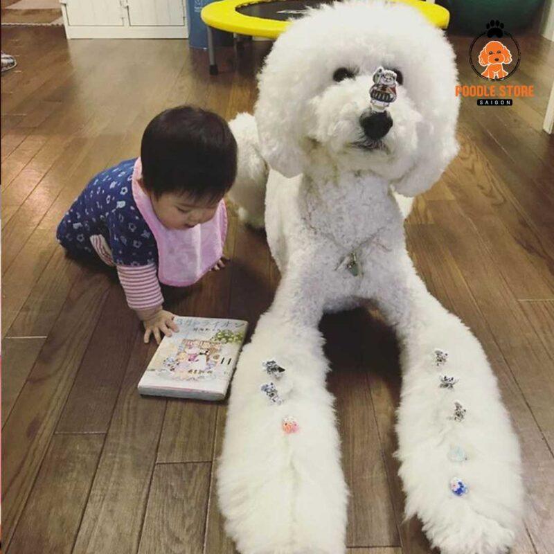 Poodle khổng lồ