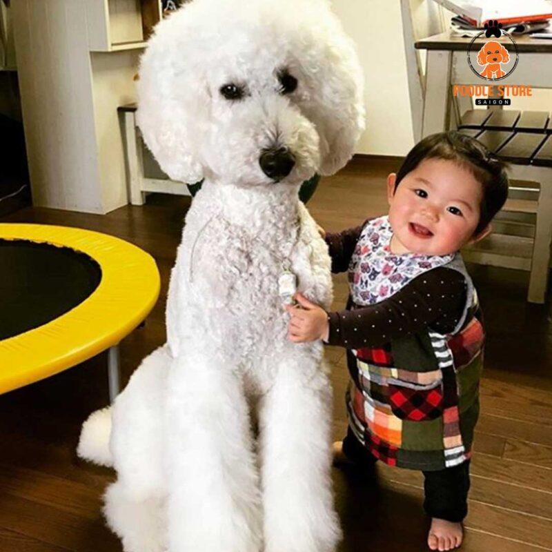 """Poodle khổng lồ với vẻ ngoài """"khủng"""""""