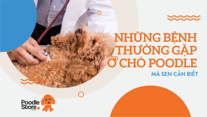 Những bệnh thường gặp ở chó poodle - mà sen cần biết