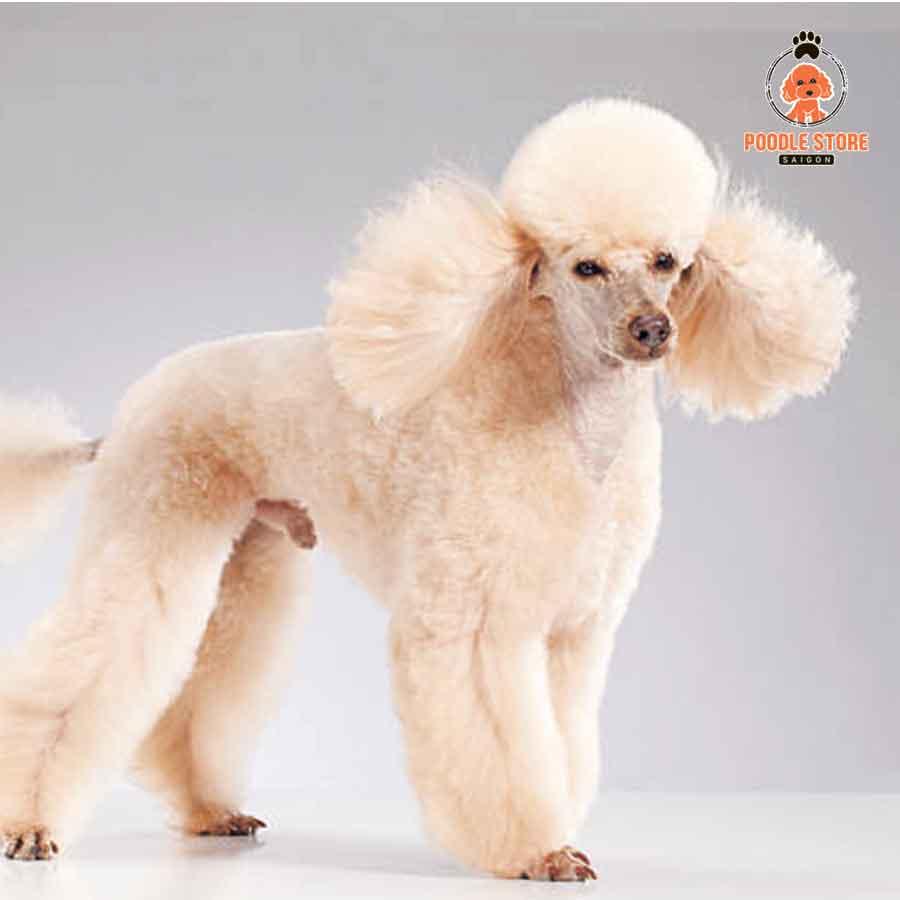 """Poodle to bự với kích thước """"khủng"""" siêu đáng yêu"""