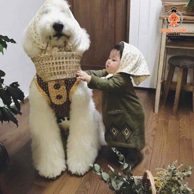 Poodle khổng lồ siêu đáng yêu