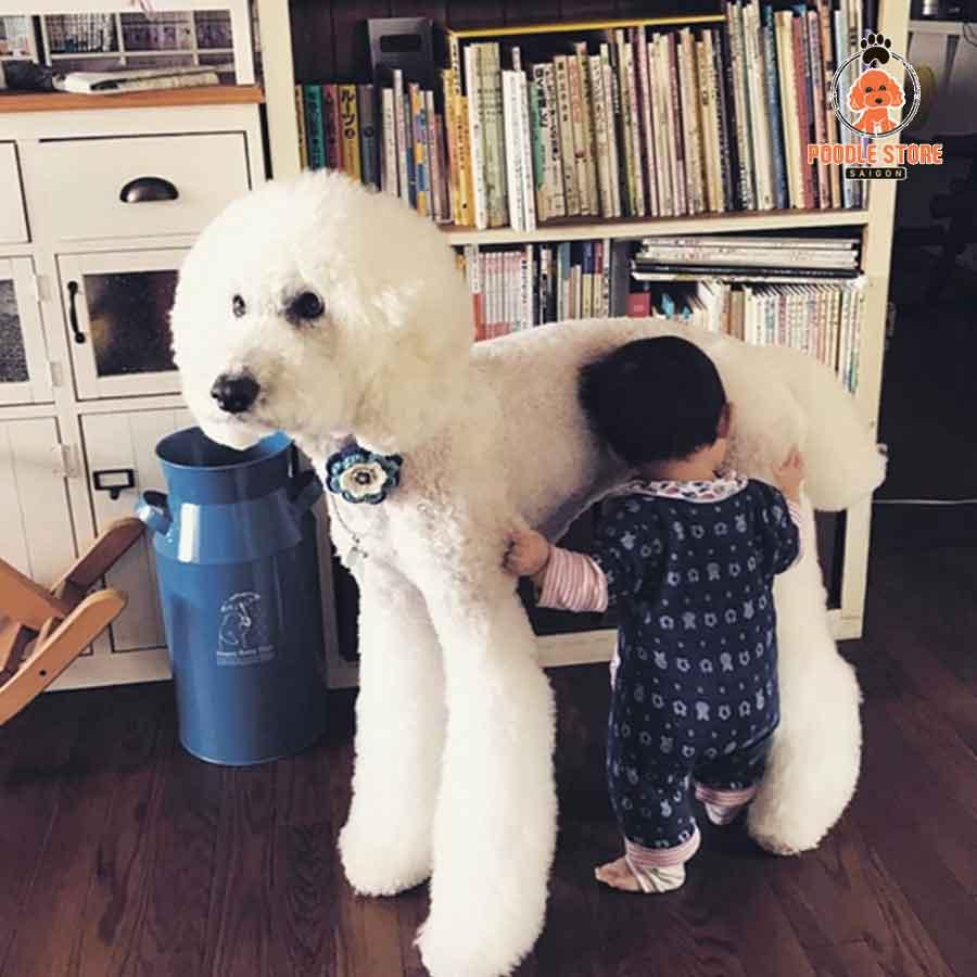 Poodle khổng lồ với tính cách thông minh, nhạy cảm và năng động