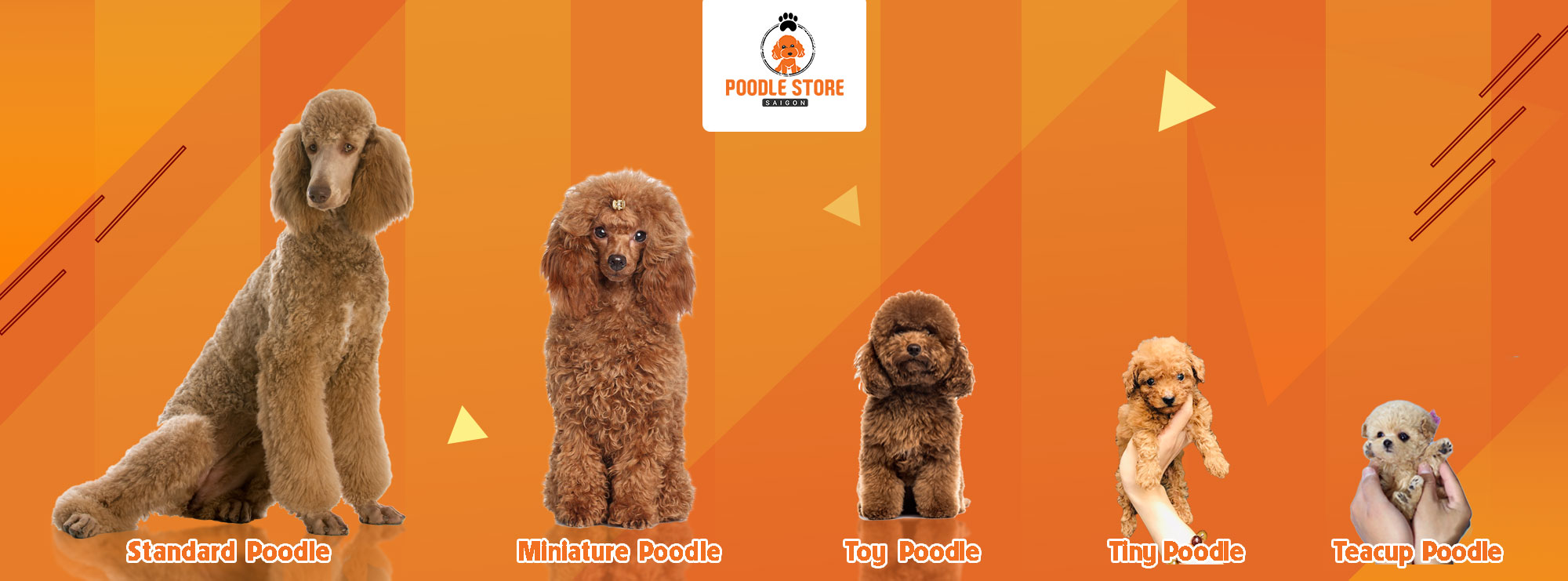 phân biệt các loại Poodle