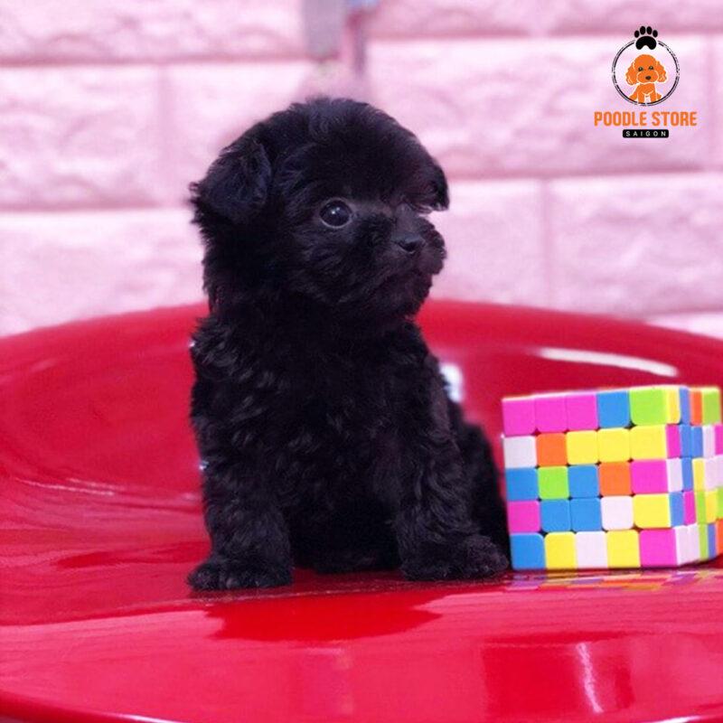 Poodle như những cục than đen di động vô cùng đáng yêu