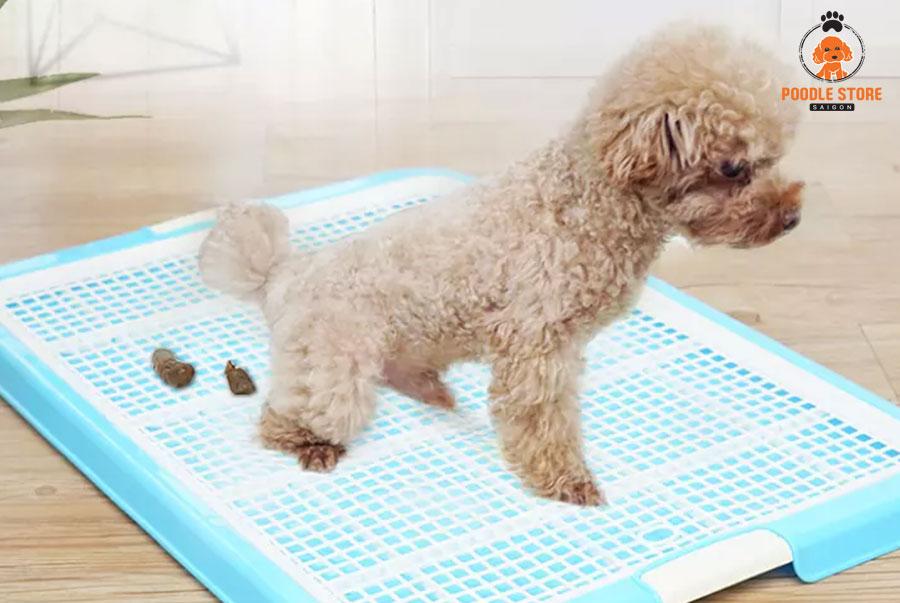 Dạy chó Poodle đi vệ sinh bằng 2 chân