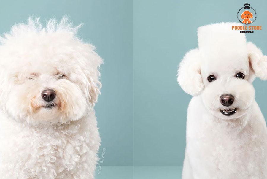 Chúng ta có rất nhiều kiểu để tỉa lông cho chó Poodle