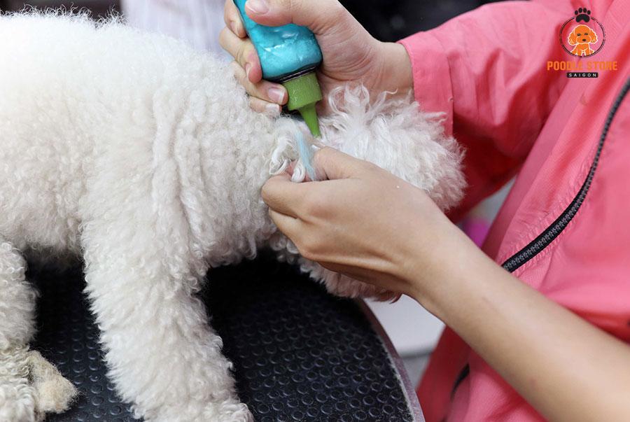 Vệ sinh tai cho chó Poodle cũng là cách chăm sóc chúng