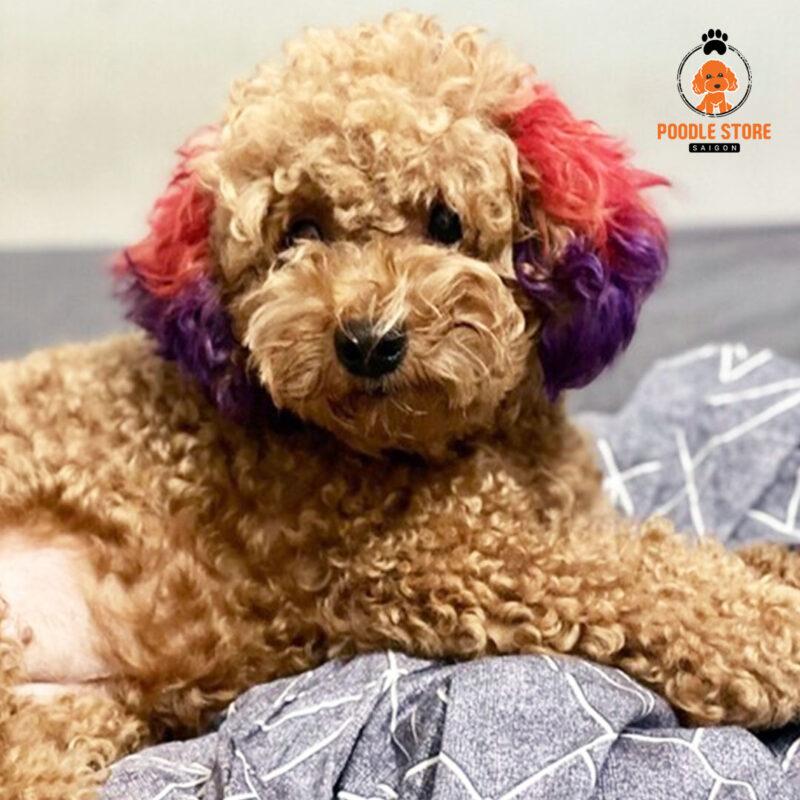Bảng màu nhuộm cho chó Poodle