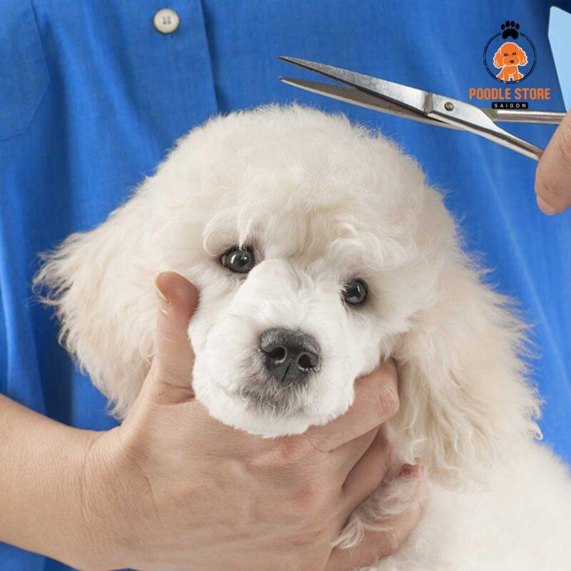 Cắt tỉa lông cho chó Poodle