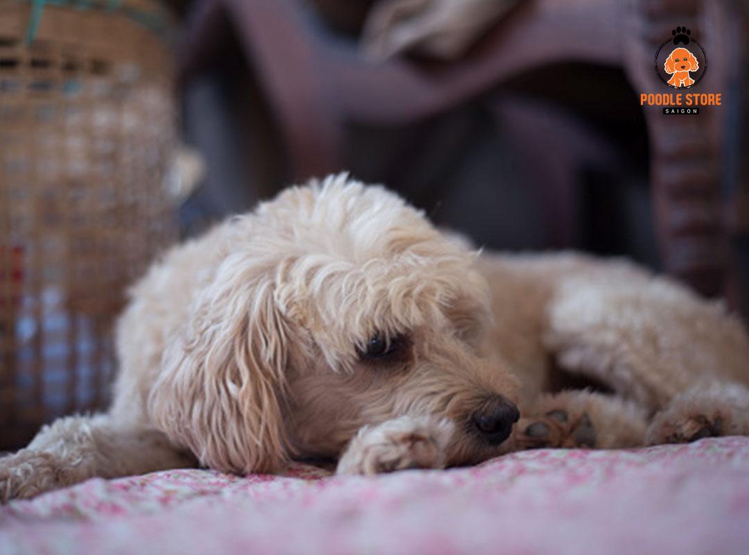 Poodle khi mang thai có thể có triệu chứng như biếng ăn hoặc ngủ nhiều
