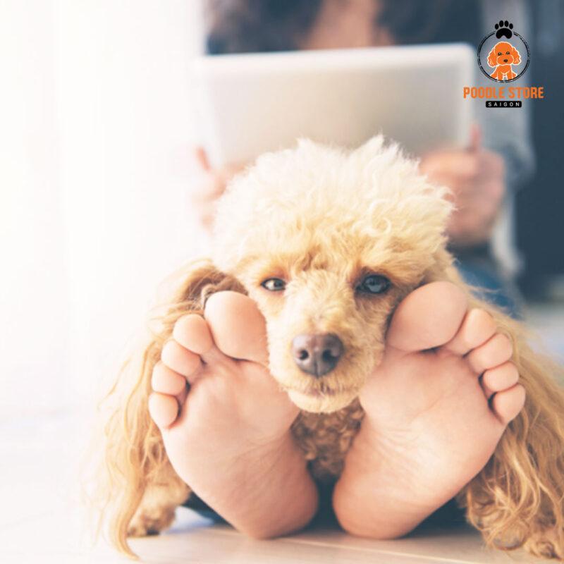 Poodle luôn luôn tràn đầy tình cram, quấn người và nghe lời chủ
