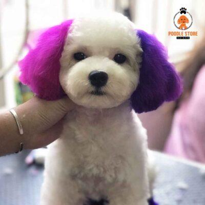 Những điều cần lưu ý khi nhuộm màu cho chó Poodle