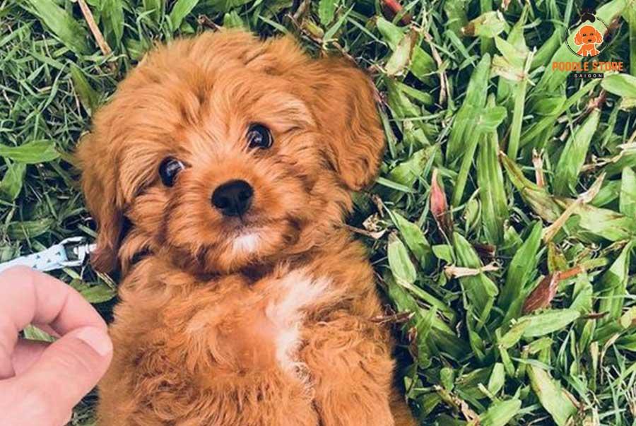 Chó Poodle luôn luôn hội tụ những điểm đáng yêu đốn tim người nhìn
