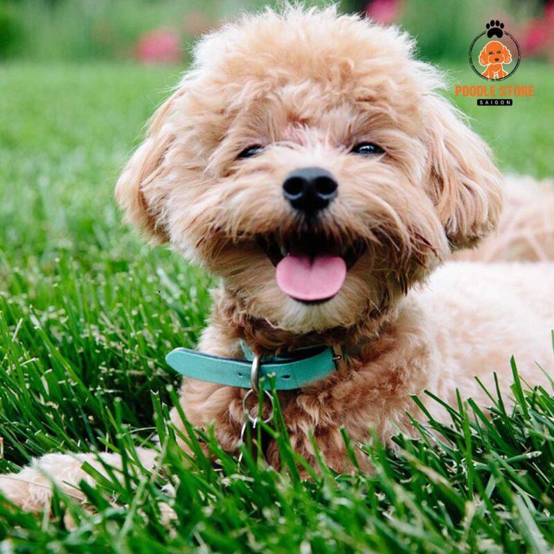 Nhũng thức phẩm Poodle nên ăn để có bộ lông đẹp