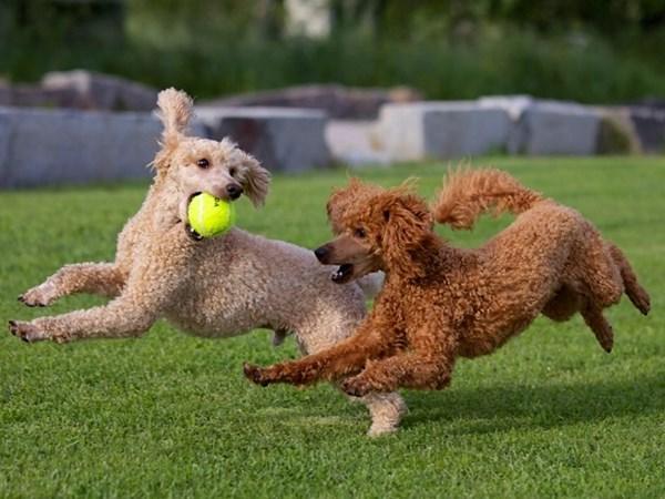 Poodle rất năng động, dễ kết bạn và vô cùng thông minh.