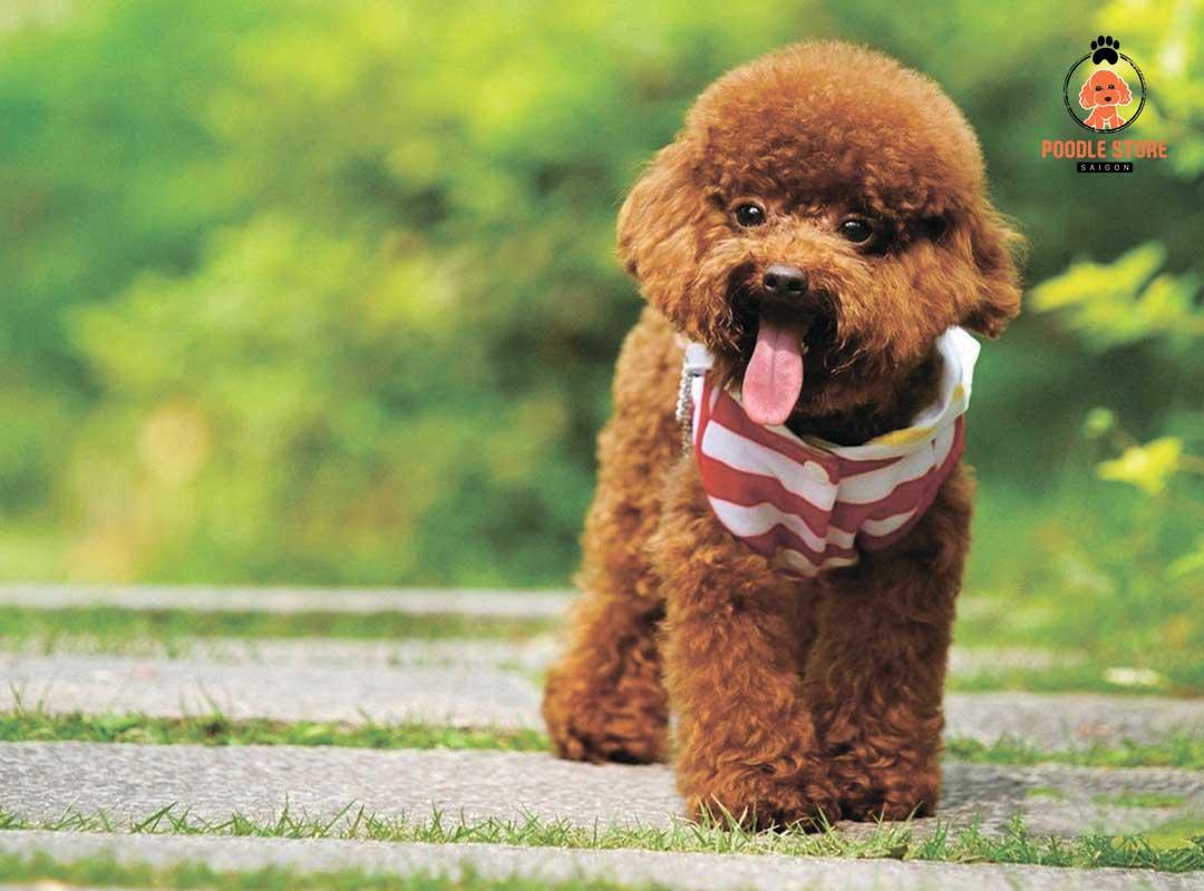 Poodle và sự phát triển từ tuần 2 đến tuần thứ 4