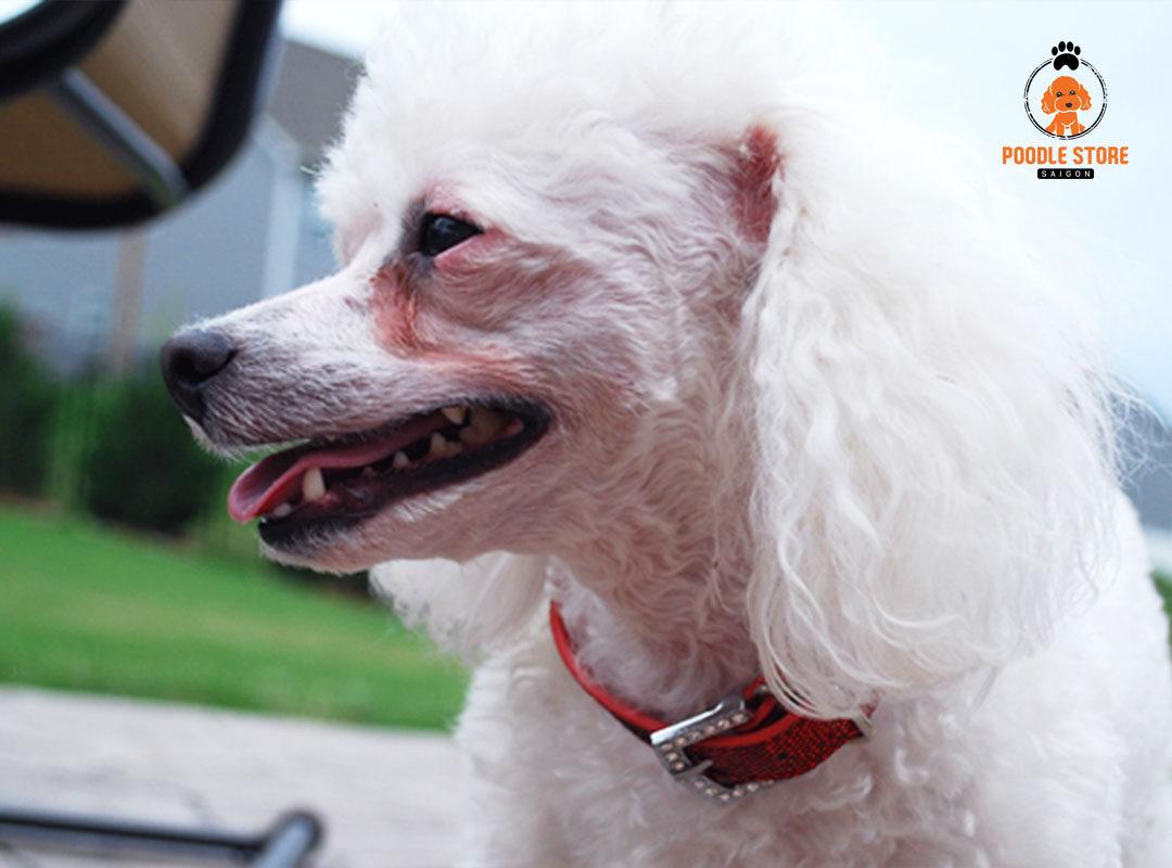 Nếu Poodle bị chảy nước mắt bạn nên mang bé đến các bệnh viện để được kiểm tra