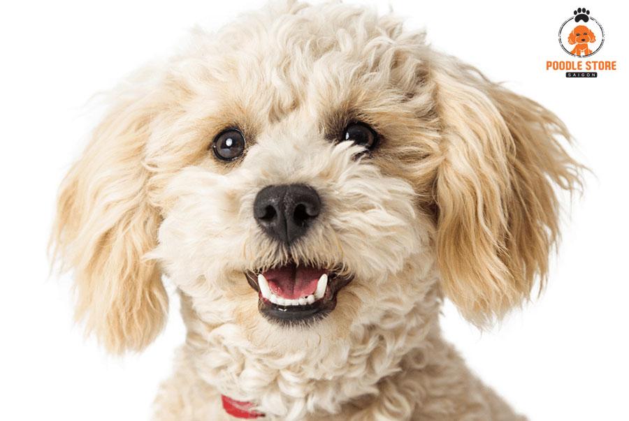 Chó Poodle ở trong được nhiệt độ bao nhiêu