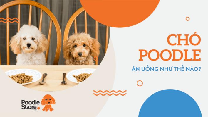 Chó Poodle ăn uống như thế nào?