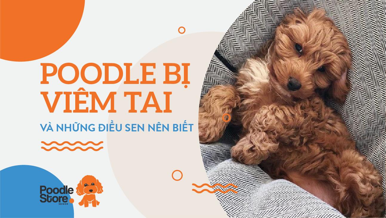 Poodle bị viêm tai và những điều sen nên biết.