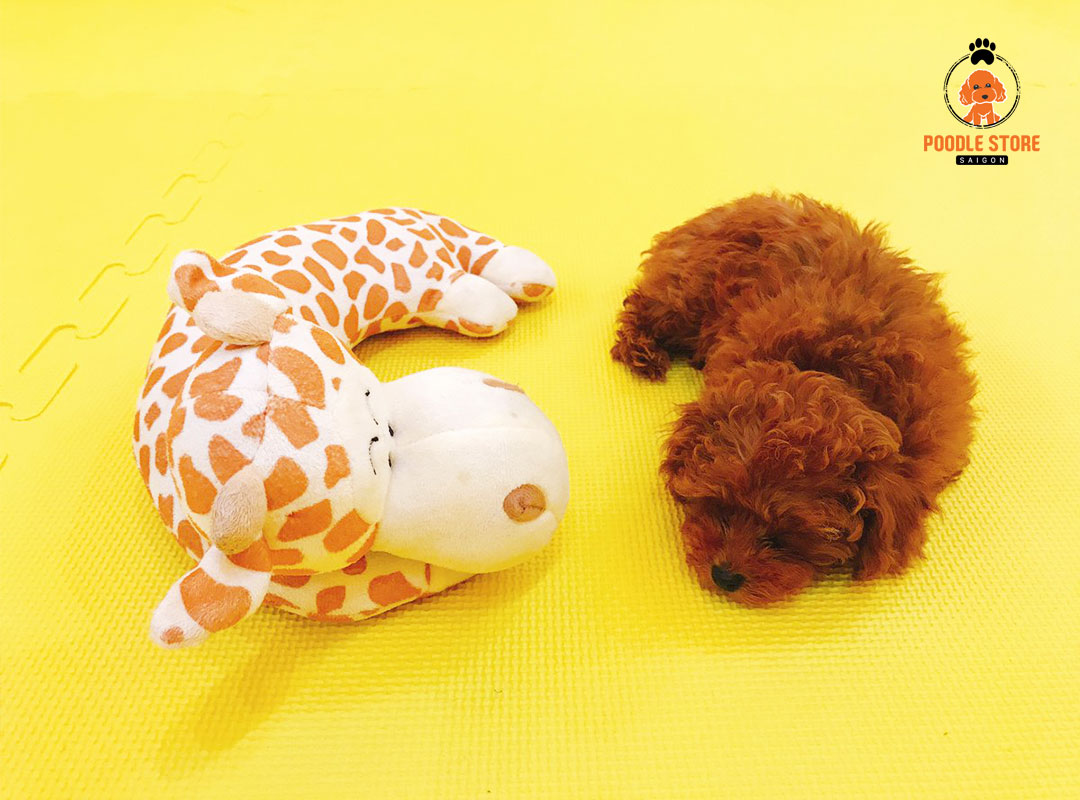 Poodle nâu đỏ một trong những loài chó được ưa chuộng hiện nay