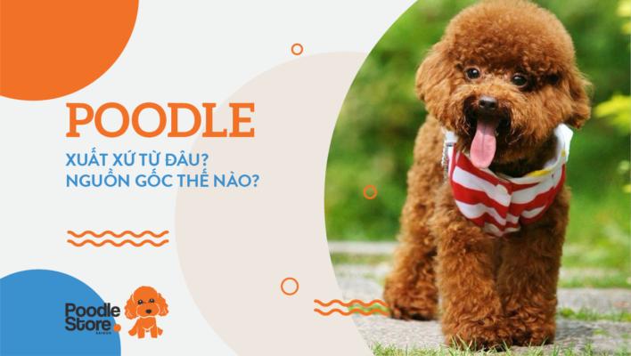 Chó Poodle xuất xứ từ đâu? nguồn gốc thế nào?