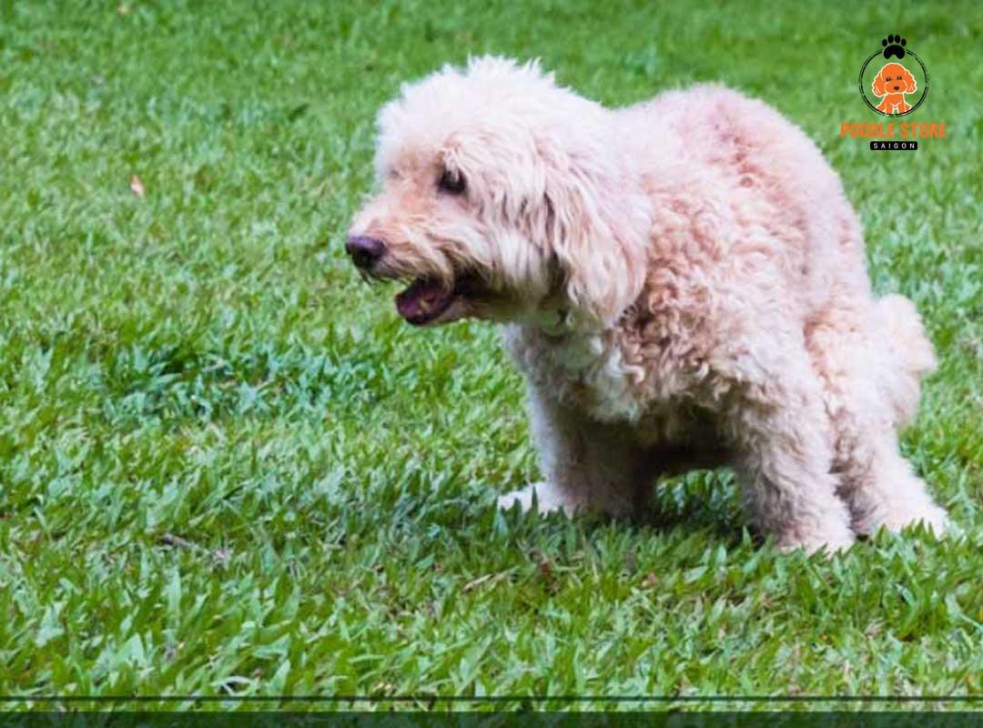 Nguyên nhân chó Poodle bị tiêu chảy