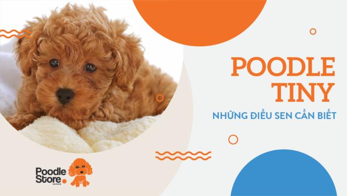 Poodle tiny – những điều sen cần biết