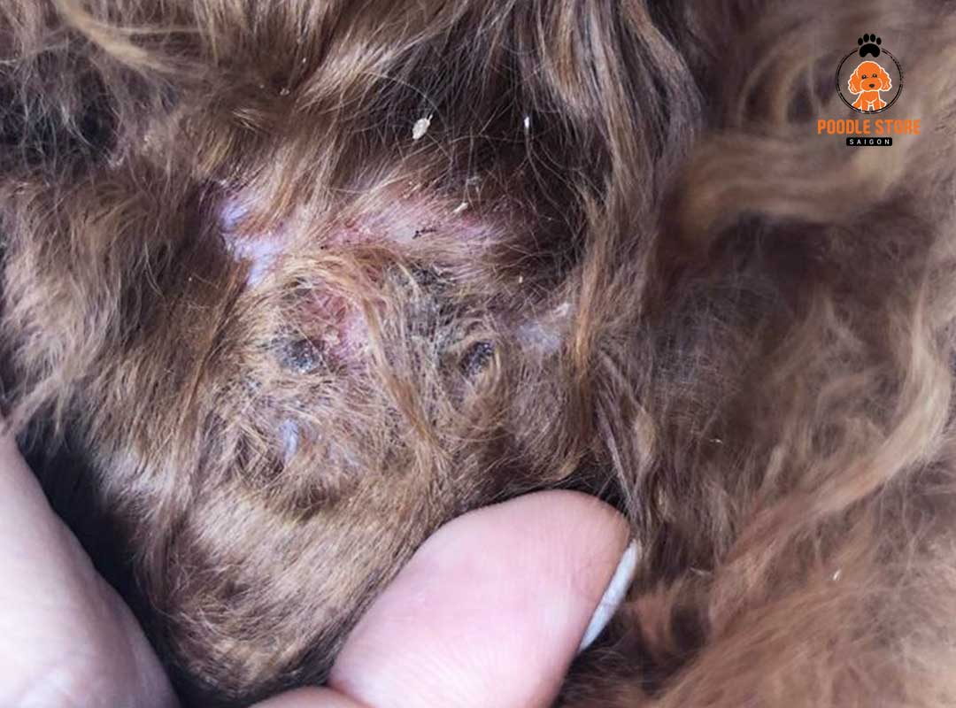 Bệnh ghẻ có thể lây lan cho các loài chó khác thậm chí là người