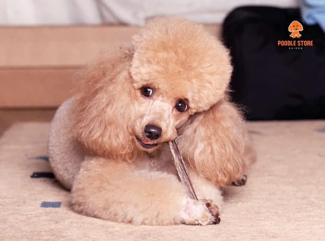 Chó Poodle ăn socola có được không ?