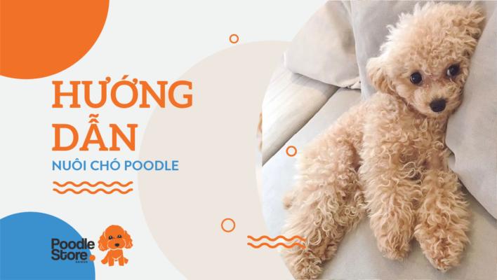 Hướng dẫn nuôi chó Poodle.