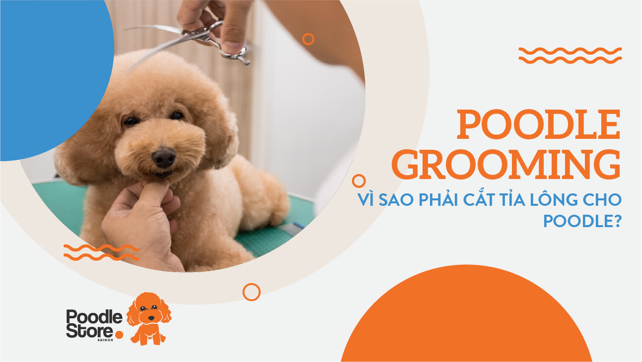 Poodle grooming- vì sao phải cắt tỉa lông cho Poodle?