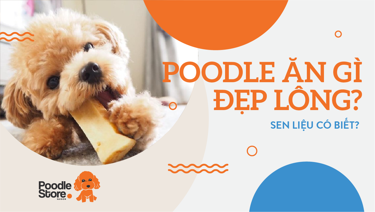 Poodle ăn gì đẹp lông - Sen liệu có biết.