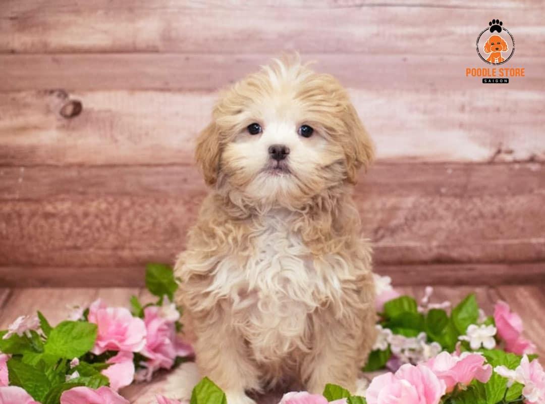 Chó Poodle phối giống Nhật (Japanese chin)