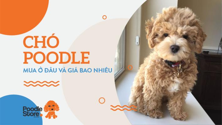 Chó Poodle mua ở đâu và giá bao nhiêu?