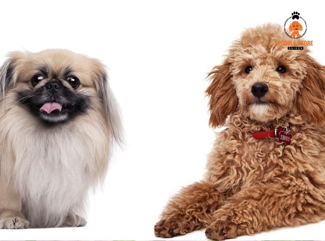 Chó Poodle phối giống Bắc Kinh (Pekingese)