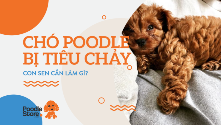 Chó Poodle bị tiêu chảy, con sen cần làm gì?