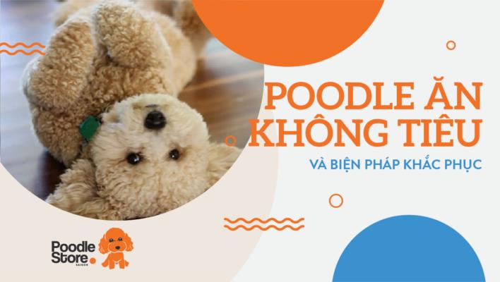 Poodle ăn không tiêu và biện pháp khắc phục