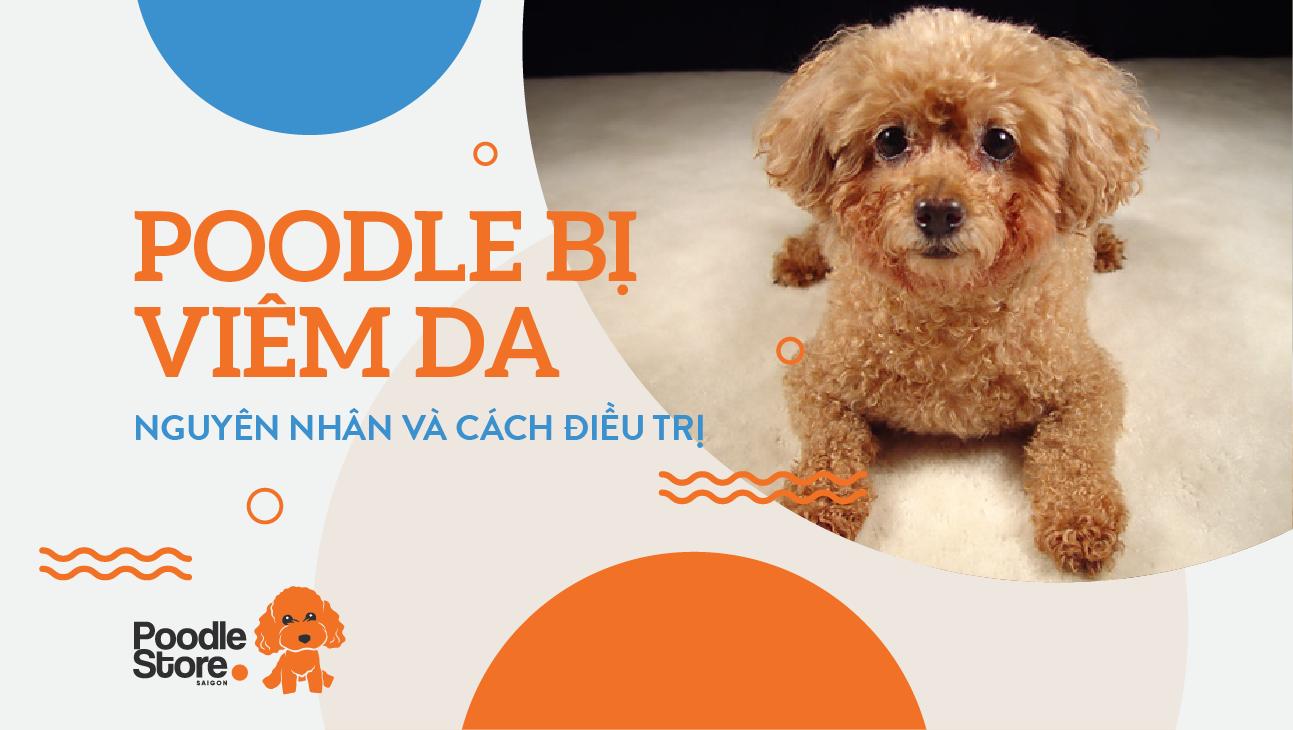 Poodle bị viêm da - nguyên nhân và cách điều trị
